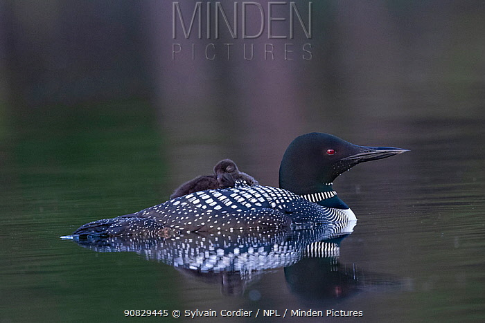 Common loon (Gavia immer), on lake, parent carrying baby on back , Michigan, USA. June.