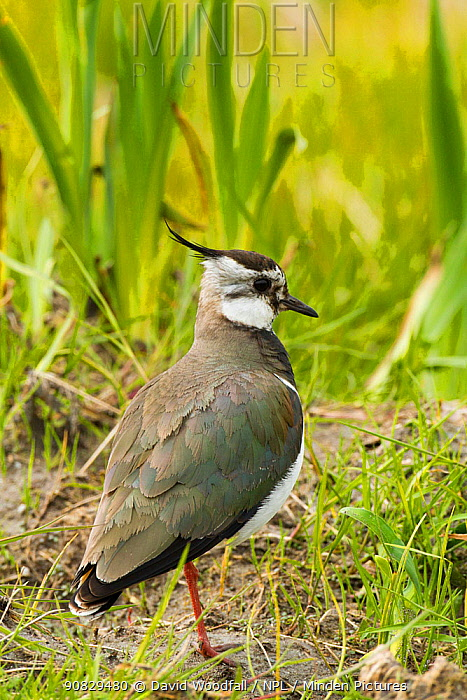 Lapwing (Vanellus vanellus) looking for food on machair marsh.North Uist, Outer Hebrides, Scotland, UK, June.