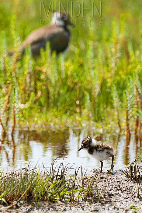 Young lapwing (Vanellus vanellus) in machair marshland, North Uist, Outer Hebrides, Scotland, UK, June.