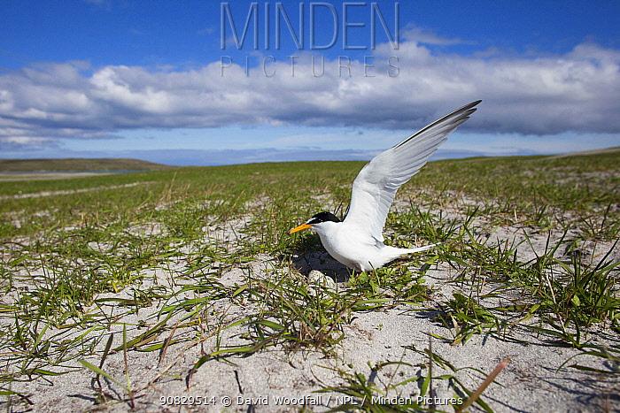 Little Tern (Sterna albifrons) at the nest amongst Black oats (Avena strigosa) North Uist, Scotland, UK, July.