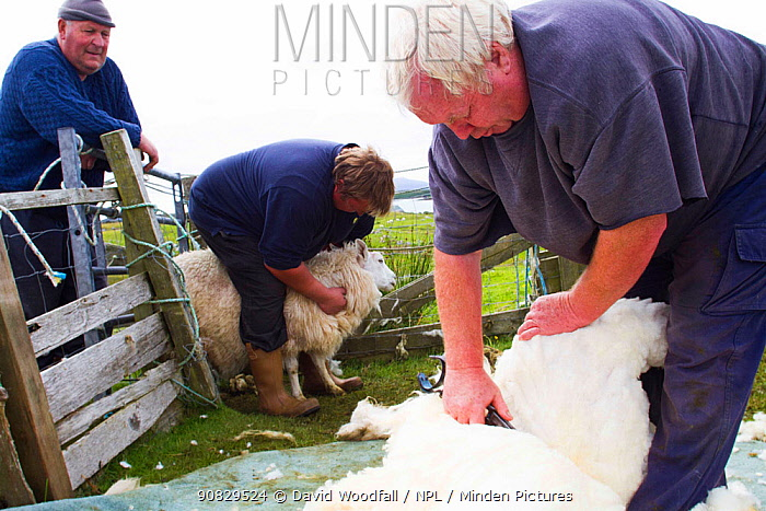 Hand shearing sheep for wool used in tweed and other textiles, North Uist, Outer Hebrides. Scotland, UK, July 2016.