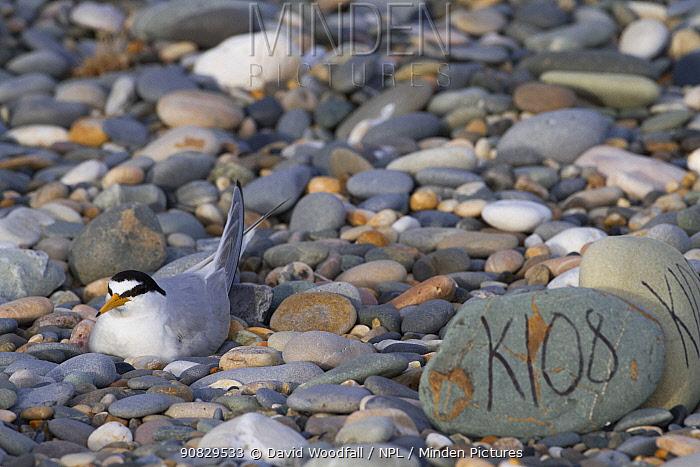 Little tern (Sterna albifrons) nesting bird, with scrape marked by pebbles/ shingle, County Wicklow, Ireland, June.