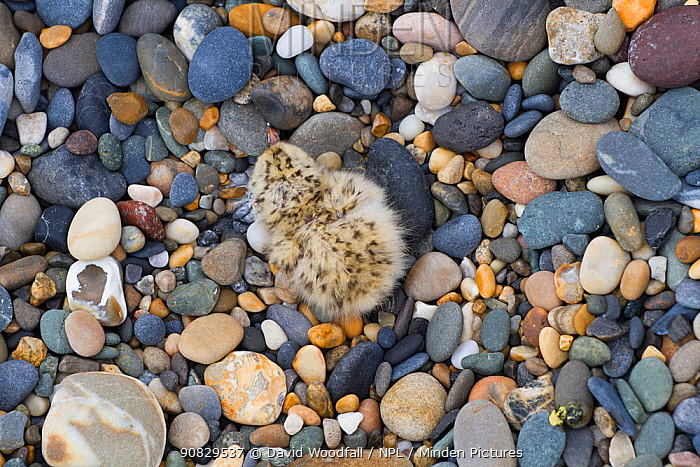 Little tern (Sterna albifrons) newly hatched chick camouflaged amongst pebbles in nest scrape. Kilcoole Little Tern colony, County Wicklow, Ireland, June.