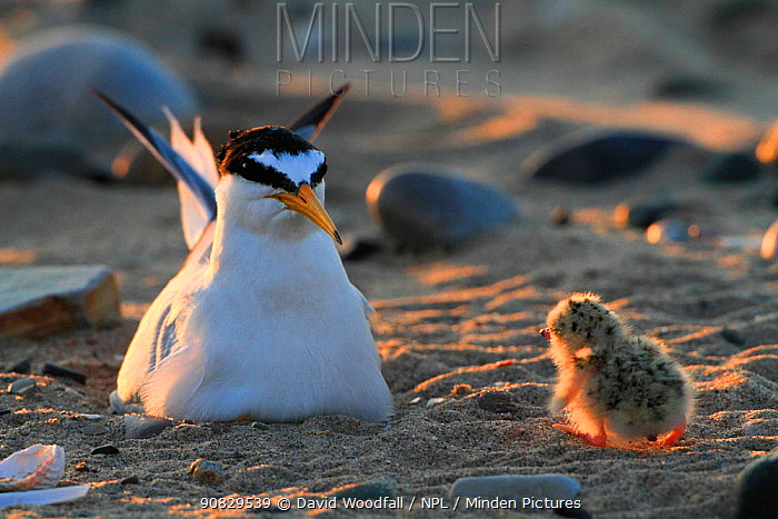 Little Tern (Sterna albifrons) chick walking back to parent sitting on nest scrape on beach . Gronant Dunes, Denbighshire, Wales, UK, June.