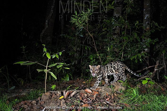 Sunda clouded leopard (Neofelis diardi) at night, Deramakot Forest Reserve, Sabah, Malaysian Borneo