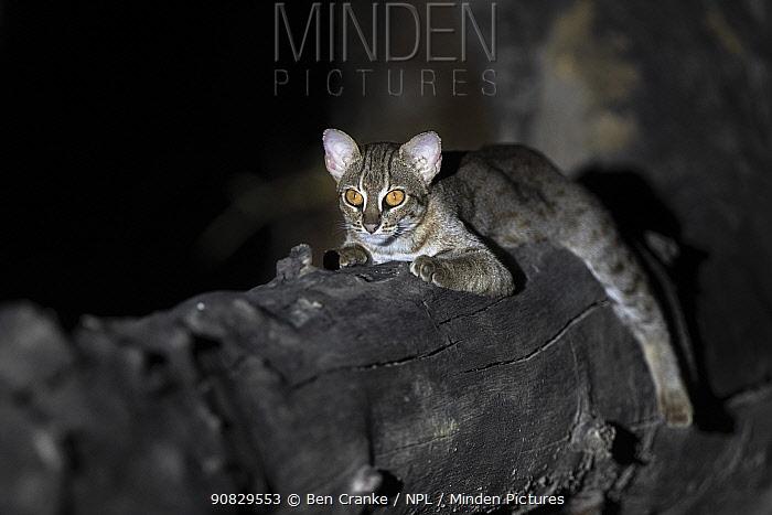 Rusty-spotted cat (Prionailurus rubiginosus) at night , Buffer Zone of Satpura National Park, Madhya Pradesh, India