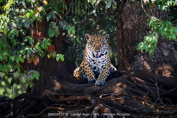 Jaguar (Panthera onca) lying on tree roots, portrait. Mato Grosso, Pantanal, Brazil.