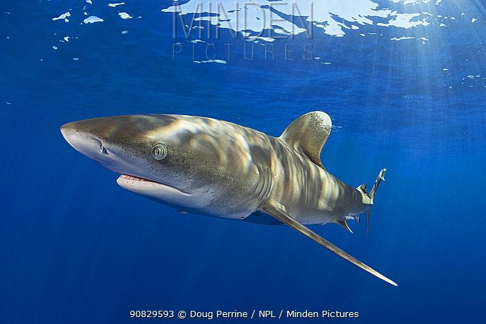 Oceanic whitetip shark (Carcharhinus longimanus). North Kona Coast, Hawaii Island, USA.