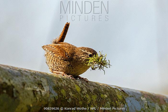 Wren (Trogoldytes troglodytes) with nesting material, Germany, April.