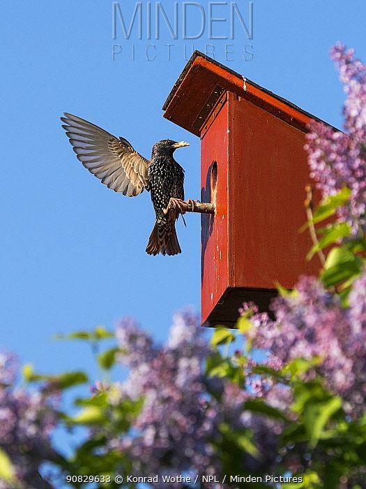 Starling (Sturnus vulgaris) at nest box, Germany. May.