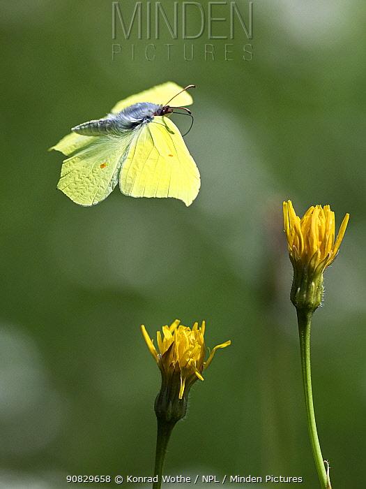 Brimstone butterfly (Gonepteryx rhamni) in flight, summer, Upper Bavaria, Germany, August.