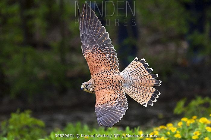 Kestrel (Falco tinnunculus) female in flight, Germany, April.