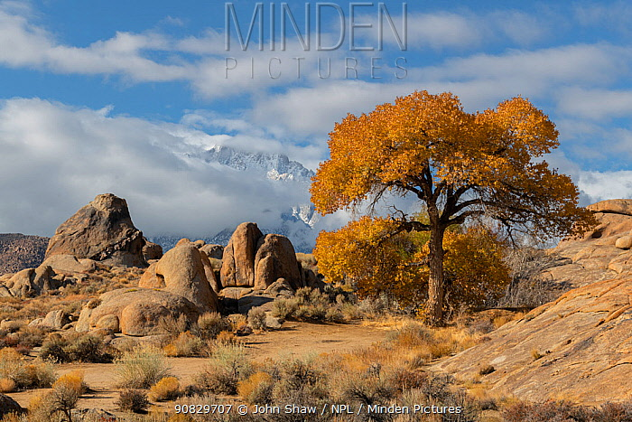 Cottonwood trees (Populus sp) in autumn color and weathered granite boulders, in the Alabama Hills, California, USA, November.
