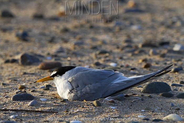 Little tern (Sterna albifrons) sitting on eggs at nest scrape on beach, County Wicklow, Ireland, June.