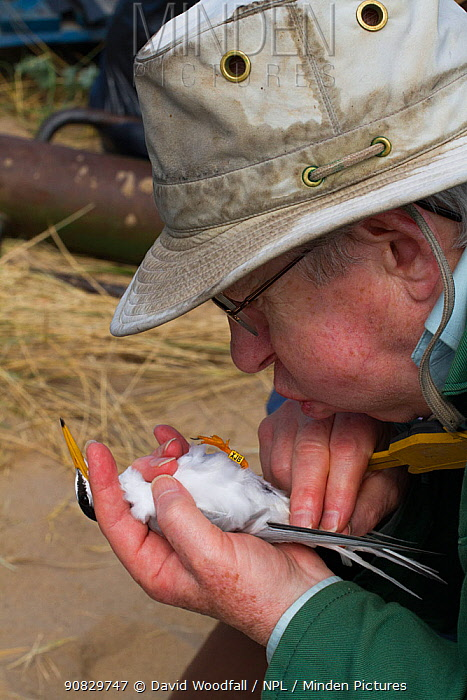 Researcher blowing on Little tern (Sterna albifrons) to move feathers to check gender. County Wicklow, Ireland, June.