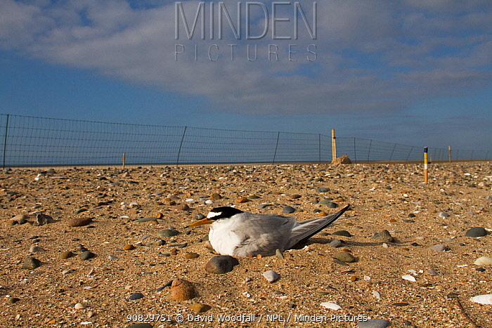 Little Tern (Sterna albifron) sitting on eggs on beach within electric fence for protection against predators like Foxes, as part of bird protection scheme. County Wicklow, Ireland, June.