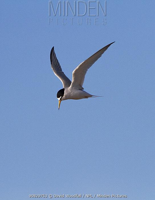 Little tern (Sterna albifrons) in flight, Denbighshire, Wales, UK.
