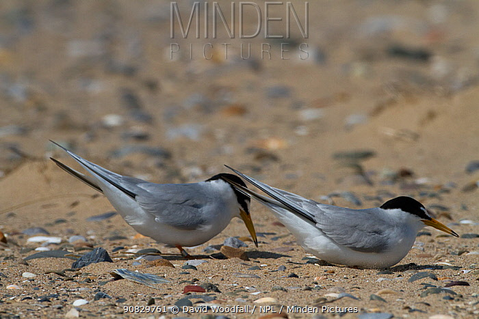 Little Terns ( Sterna albifrons ) displaying prior to nesting, Denbighshire, Wales, UK. March.