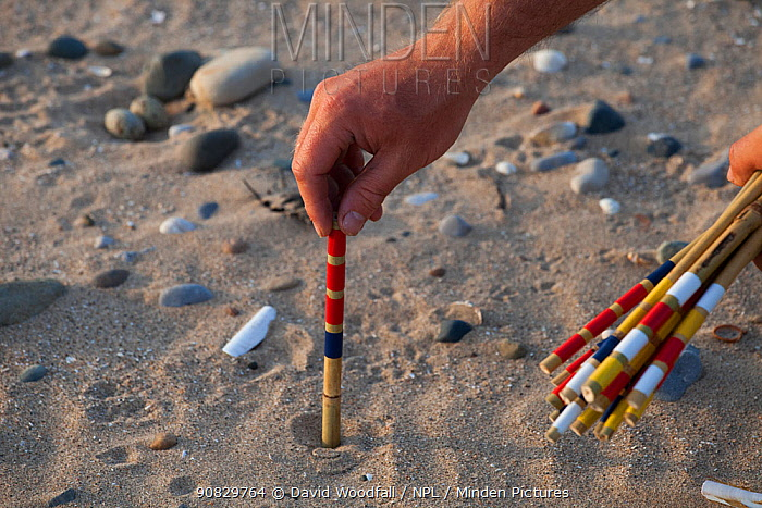 Researcher marking Little tern (Sterna albifrons) nest scrape with painted bamboo. County Wicklow, Ireland, June.