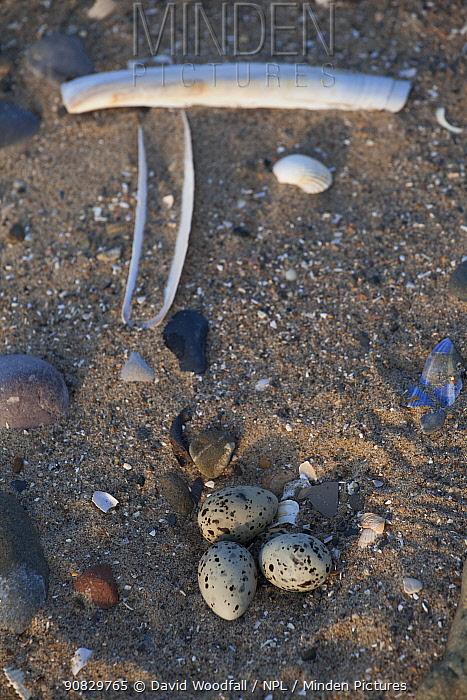 Little Tern nest (Sterna albifrons ) in scrape in the sand, County Wicklow, Ireland, June.