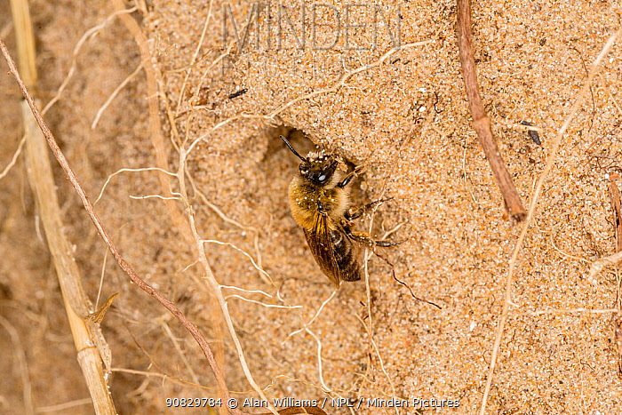 Long-lipped mining bee (Adrena barbilabris) at burrow entrance in sand dune, River Dee estuary, Hoylake, Wirral, Merseyside, England, UK. April.