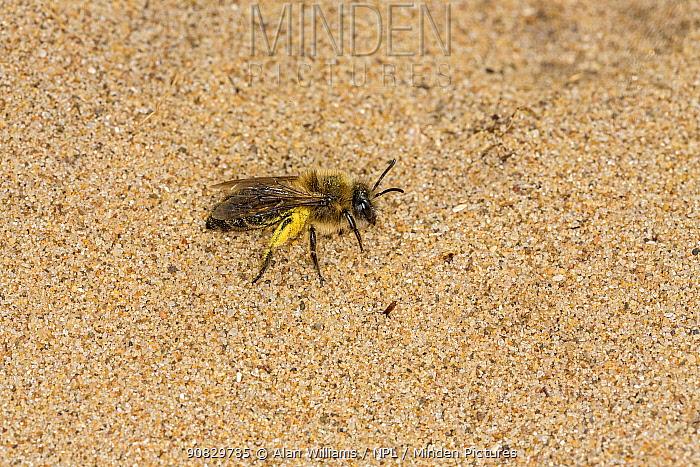 Long-lipped mining bee (Adrena barbilabris) on sand dune, River Dee estuary, Hoylake, Wirral, Merseyside, England, UK. April.