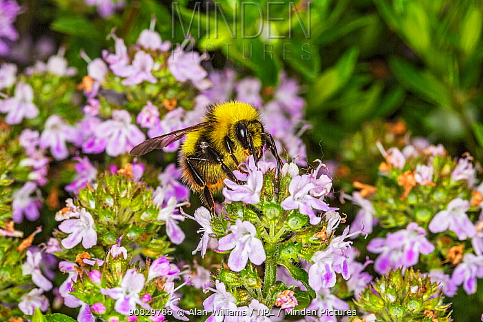 Early bumblebee (Bombus pratorum) feeding on Thyme (Thymus sp) in garden, Cheshire, England, UK. May.