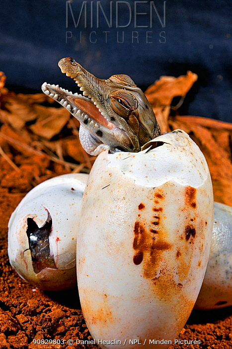 West African slender-snouted crocodile (Mecistops cataphractus) hatching from egg. Native to West Africa. Captive.
