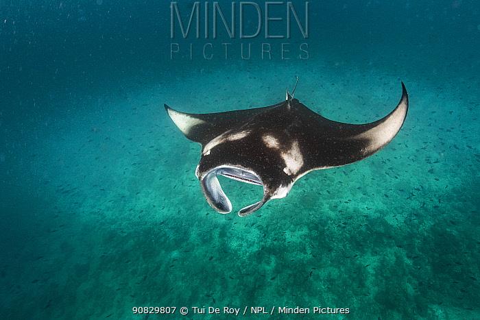 Reef manta ray (Manta alfredi) filter feeding on plankton. Vandhoo Thila, Raa Atoll, Maldives