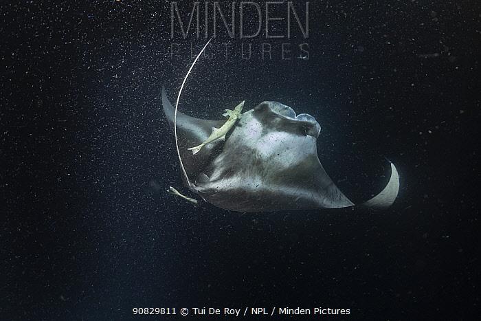 Reef manta ray (Manta alfredi) feeding on plankton attracted to ship's lights at night. Maayafushi Lagoon, South Ari Atoll, Maldives