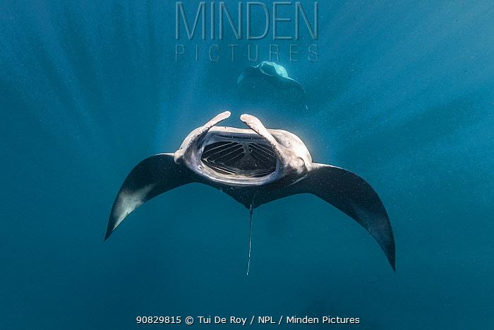 Reef manta ray (Manta alfredi) barrel-roll feeding, Hanifaru Bay, Raa Atoll, Maldives