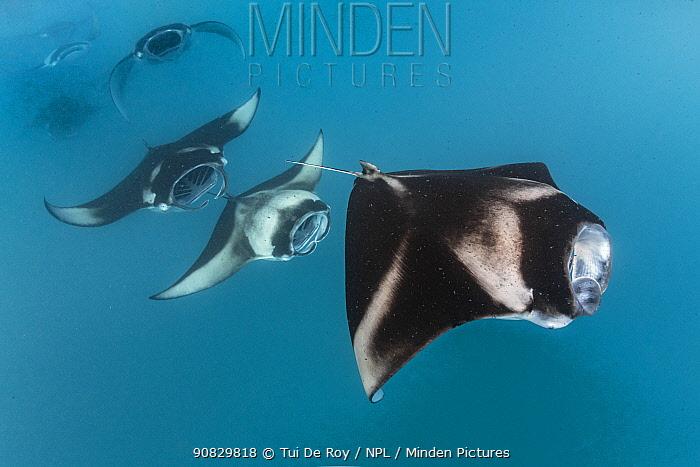 Reef manta rays (Manta alfredi) filter feeding in atoll passes and lagoons Hanifaru Bay, Raa Atoll, Maldives
