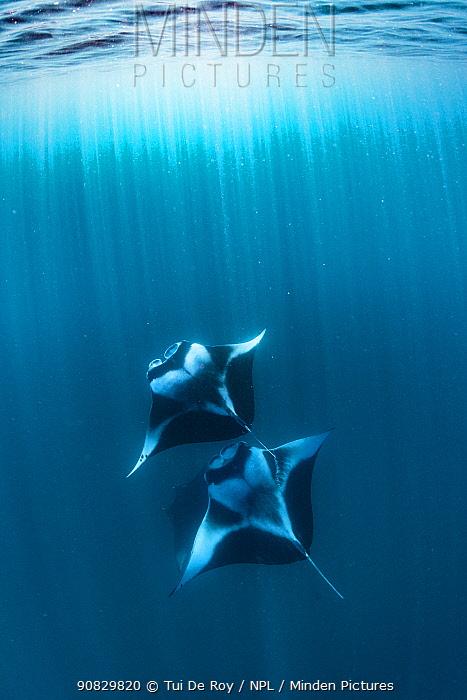 Reef manta rays (Manta alfredi) filter feeding on plankton Hanifaru Bay, Raa Atoll, Maldives