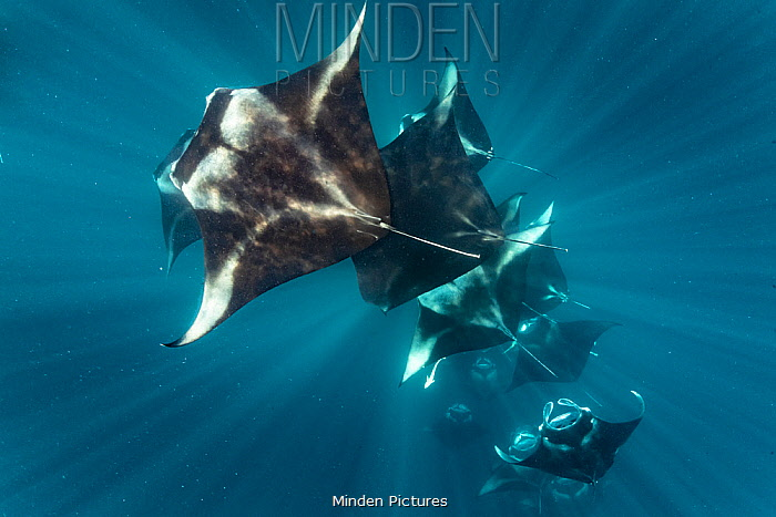 Reef manta rays (Manta alfredi) filter feeding on plankton, Dhikkurendho Reef, Raa Atoll, Maldives