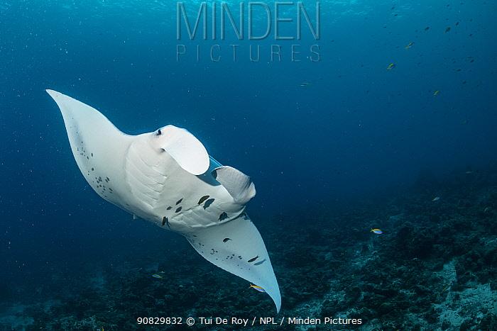 Reef manta ray (Manta alfredi) Visiting cleaning station to invite small reef fish to clean it of skin parasites. Neyo Beyru, Raa Atoll, Maldives