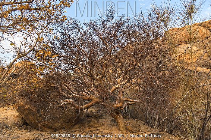 Blue-leaved corkwood (Commiphora glaucescens), Erongo Mountains, Namibia