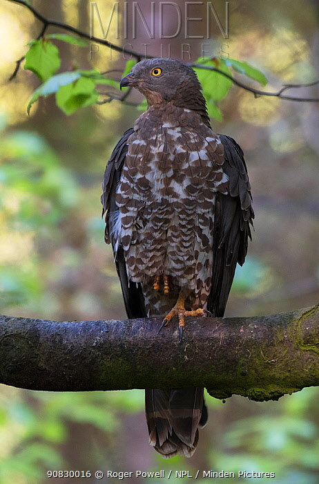 European Honey Buzzard (Pernis aviporus) resting on branch in Beech Tree.