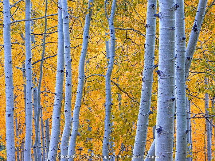 Aspen (Populus tremuloides) tree trunks in autumn. Uncompahgre National Forest, Colorado, USA. September 2019.