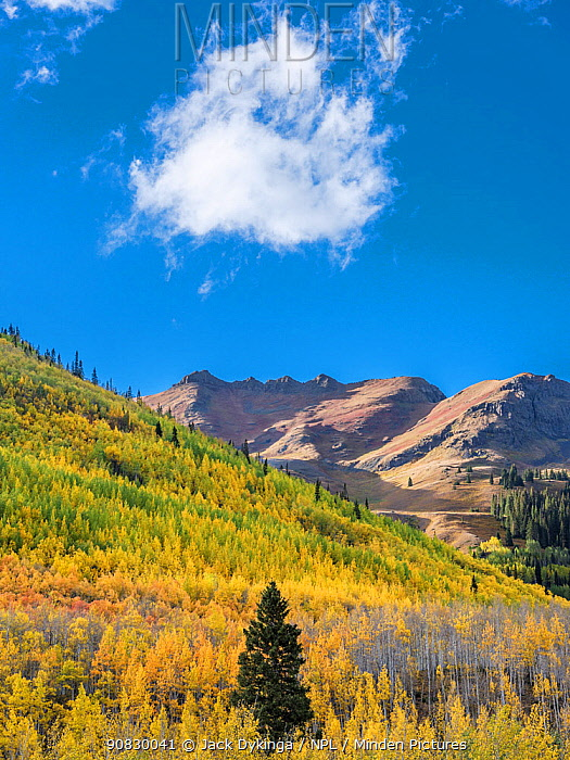 Aspen (Populus tremuloides) forest with scattered Englemann spruce (Picea engelmannii), Hayden Mountain in background. Uncompahgre National Forest, Colorado, USA. September 2019.