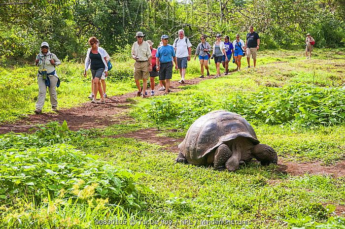 Tourists watching Galagpagos giant tortoise (Chelonoidis porteri) Highlands, Santa Cruz Island, Galapagos. June 2012.