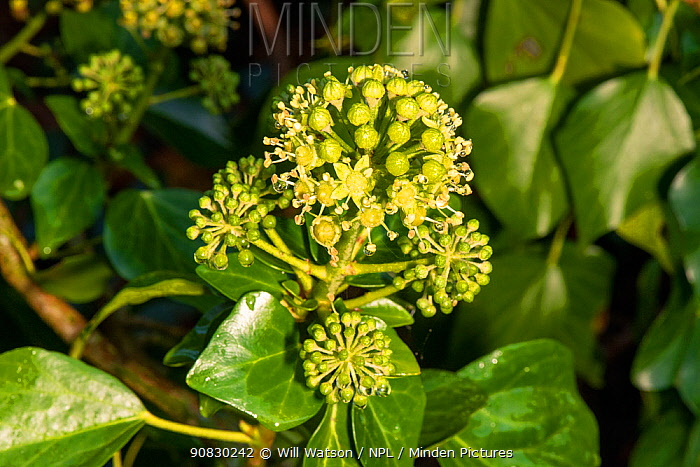 Irish Ivy (Hedera hibernica) in flower, County Down, Northern Ireland. October.