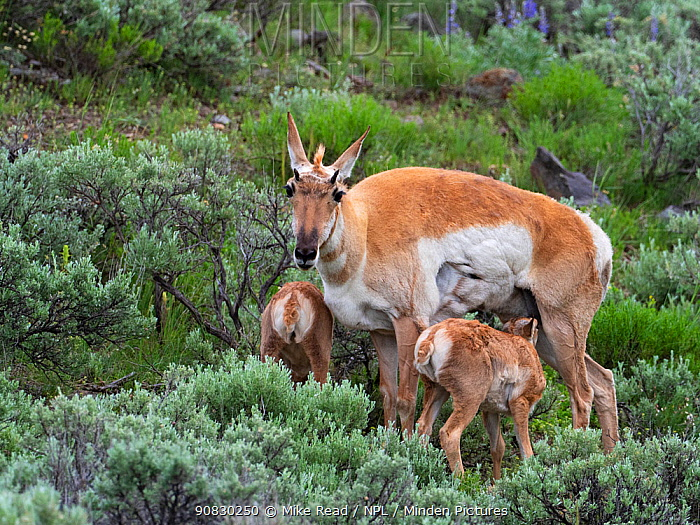 Pronghorn (Antilicarpa americana) female with twin calves, amognst Silver sagebrush (Artemisia cana) Lamar Valley, Yellowstone National Park, Wyoming, USA, June.