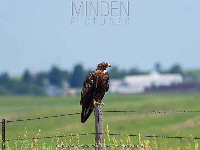 Golden eagle (Aquila chrysaetos) juvenile perched on a fence post, Pawnee National Grassland, Weld County, Colorado, USA, July.