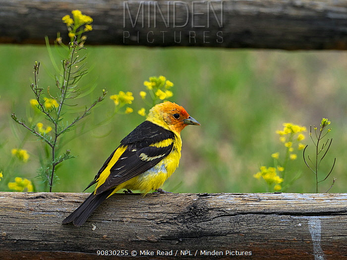 Western tanager (Piranga ludoviciana) male perched on a fence, Gardiner, Montana, USA, June.