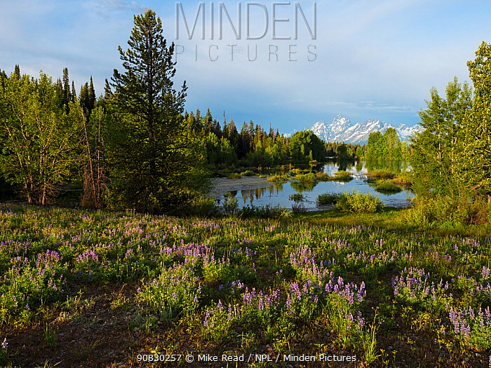 Pool beside the Pilgrim Creek road with Silvery lupine (Lupinus albifrons) in the foreground and the Teton range of mountains beyond, Grand Teton National Park, Wyoming, USA, June 2019