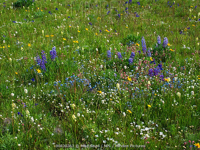 Alpine meadow beside Highway 14 Scenic Byway, Bighorn National Forest, Wyoming, USA, July 2019