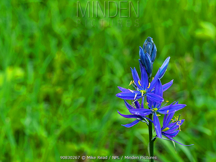 Common camas (Camassia quamash) in a damp meadow near Colter Bay, Grand Teton National Park, Wyoming, USA, June.