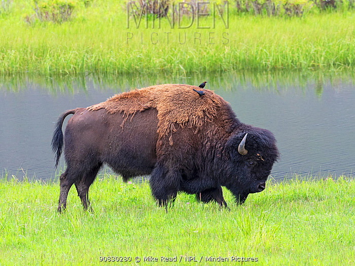 American bison (Bos bison) moulting with two Brown-headed cowbirds (Molothrus ater) on its back,Yellowstone National Park, Wyoming, USA, June.