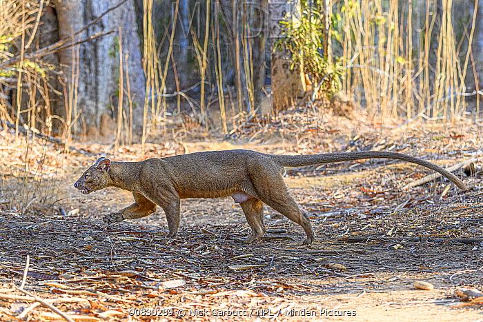 Fosa of Fossa (Cryptoprocta ferox) male walking through dry deciduous forest, Kirindy, western Madagascar.