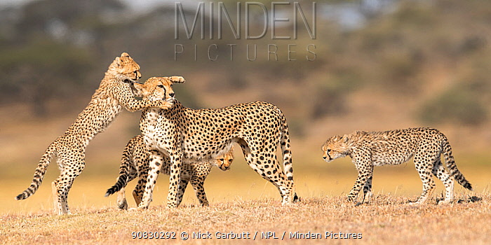 Cheetah (Acinonyx jubatus) female playing with three cubs (age around 5 months) Ngorongoro Conservation Area, Tanzania.